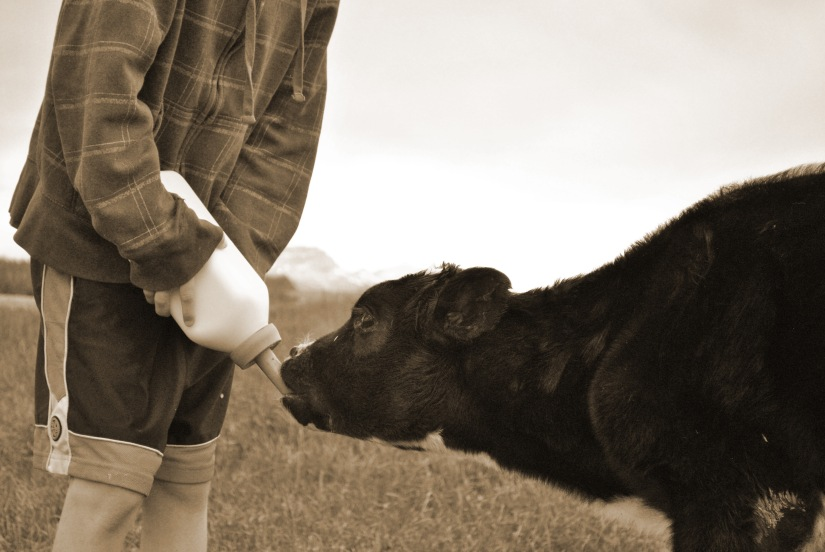 Bottle Feeding Calf