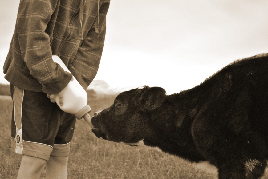 baby eating cow