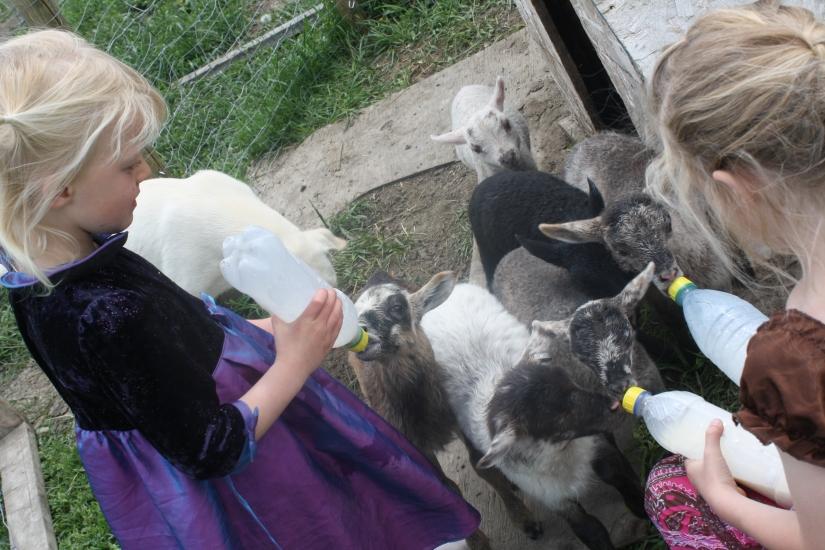 Baby Lambs At Aunty Bears Farm