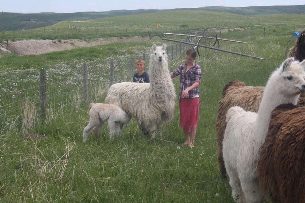 Mama and baby Llama at Aunty Bears Farm