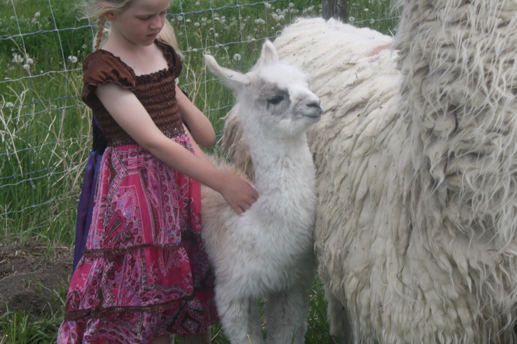 Baby Llama At Aunty Bears Farm