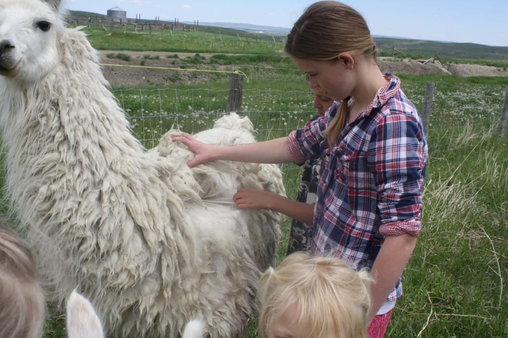 Llama Farmers at Aunty Bears Farm