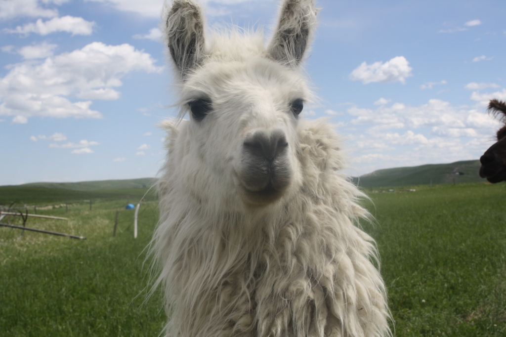 Mama Llama At Aunty Bears Farm