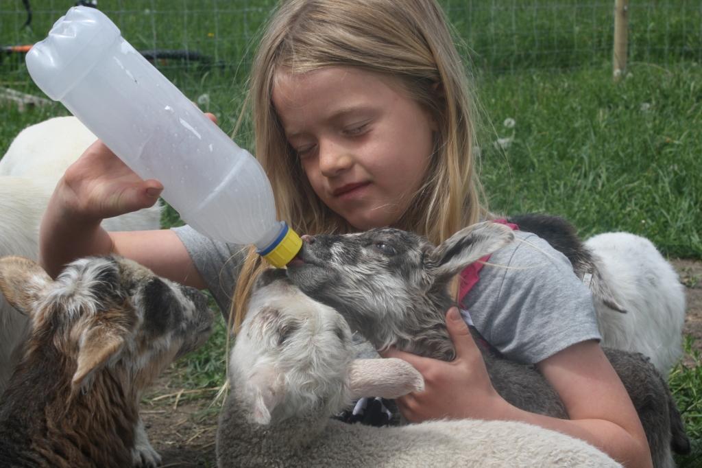 Feeding Lambs At Aunty Bears Farm